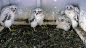 The four peregrine falcon chicks – three female and one male –  successfully hatched. (IBA photo)