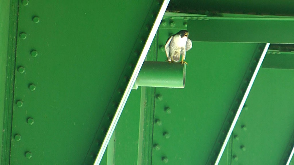An adult peregrine falcon perches on the Sault Ste. Marie International Bridge in 2015. The endangered raptors have been visiting the bridge since the late 1990s. (IBA photo)