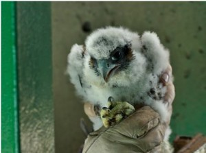 During banding operations last month, a member of a Michigan DNR team holds one of the four peregrine falcons chicks that successfully hatched at the Sault Ste. Marie International Bridge. (IBA photo by Liz Stewart)