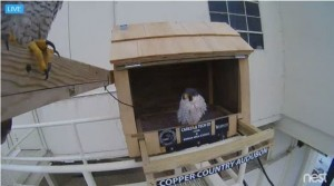 Caption info: Two returning adult peregrine falcons arrived to check out the new nest box at the Portage Lake Lift Bridge just a few days after it was installed. (Webcam image)