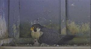 falcon-hatch-small_original