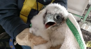 Caption info: Members of a Michigan DNR team put identifying bands on this peregrine falcon chick that successfully hatched at the Sault Ste. Marie International Bridge this year. (IBA photo)