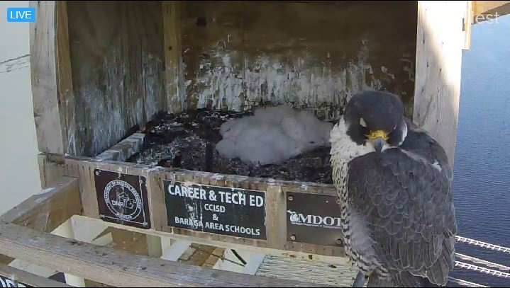 An image captured from the nest box webcam at the Portage Lake Lift Bridge this spring shows an adult and several falcon chicks. Peregrine falcons have successfully hatched young at the Sault Ste. Marie International Bridge and the Portage Lake Lift Bridge between Houghton and Hancock this year. (MDOT photo)
